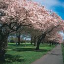 Blossom_tour_nz
