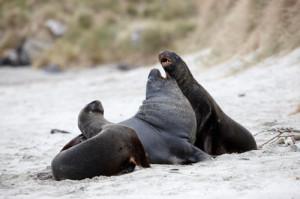 dunedin-sea-lions