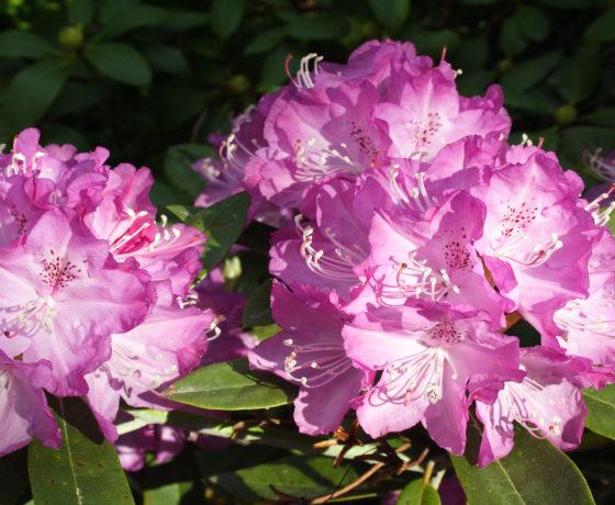 rhododenrum